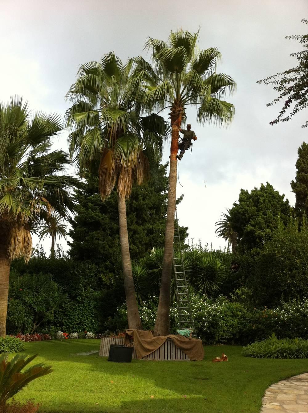 Traitement de Palmiers - Rénovation espaces verts Ste